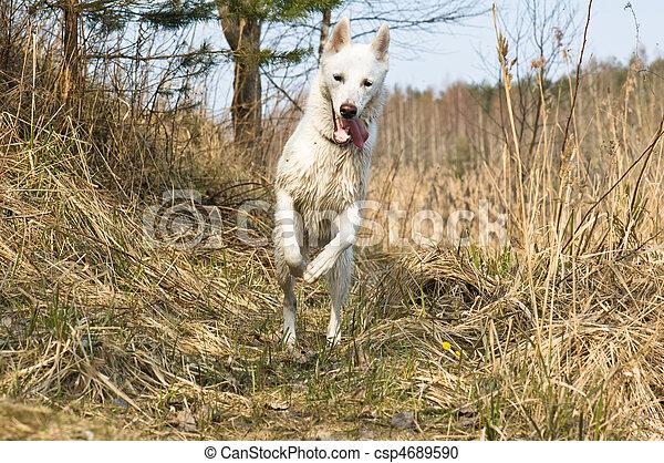 Wet dog skipping on wood - csp4689590