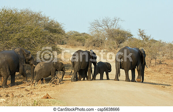 Wet elephant herd crossing the road leaving waterhole - csp5638666