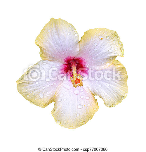 Wet hibiscus flower on white background - csp77007866