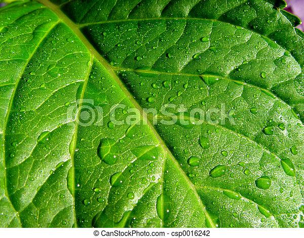 wet leaf - csp0016242