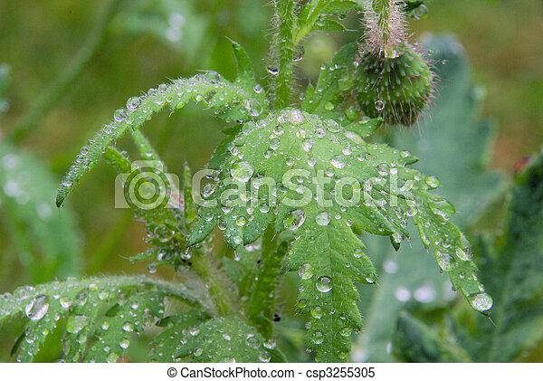 wet leaves from poppy 02 - csp3255305