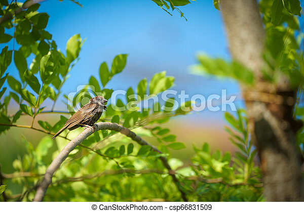 wet lonely sparrow in the summer and warm weather hang on to tree branch with blur orange sky background. - csp66831509