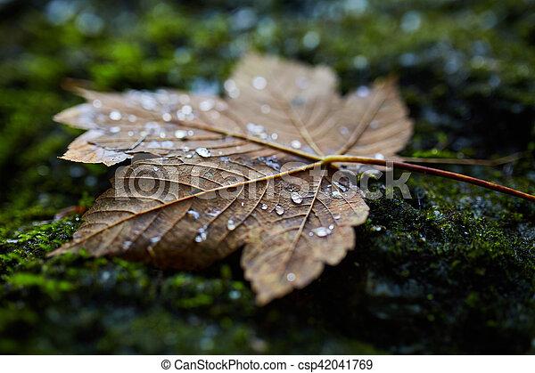 Wet maple leaf closeup - csp42041769