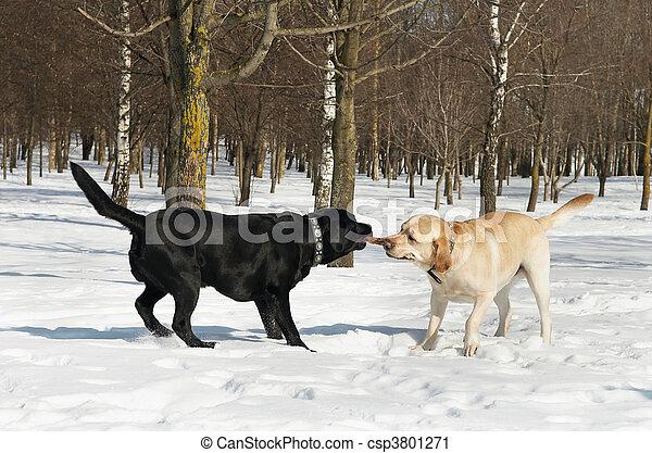 Labrador-Wettbewerb im Winter - csp3801271