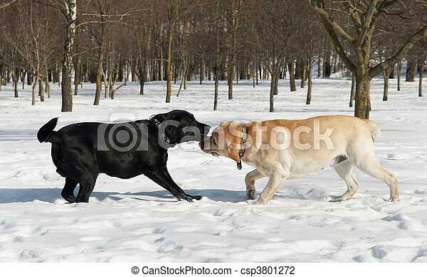 wettkampf, winter, labrador - csp3801272
