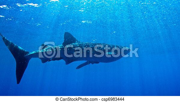 Whale shark in the sun. - csp6983444