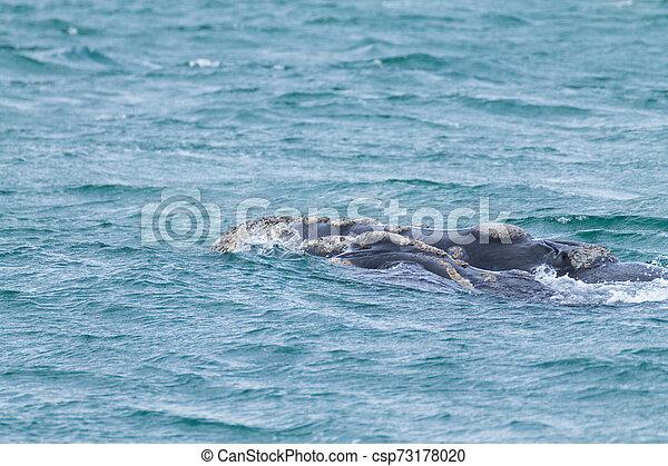 Whale watching from Valdes Peninsula, Argentina. Wildlife - csp73178020