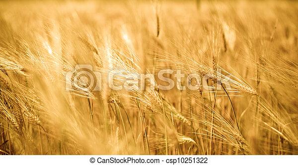 wheat crops - csp10251322