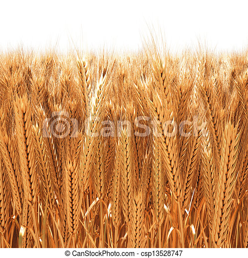 wheat - csp13528747