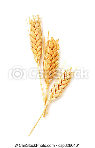 Wheat ears isolated  - csp8260461