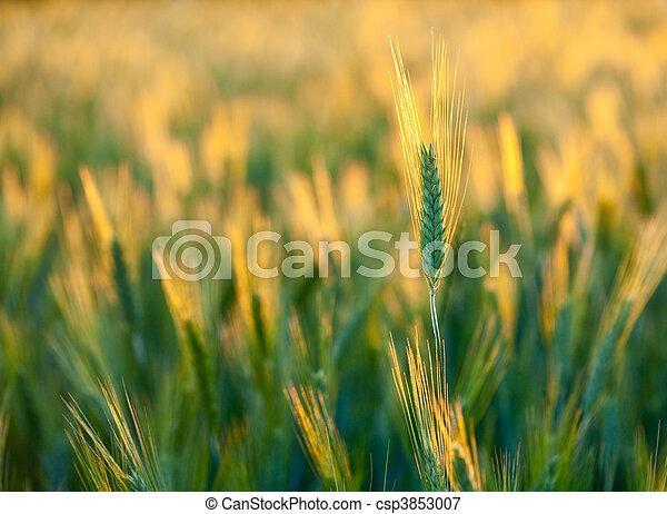 Wheat ears - csp3853007