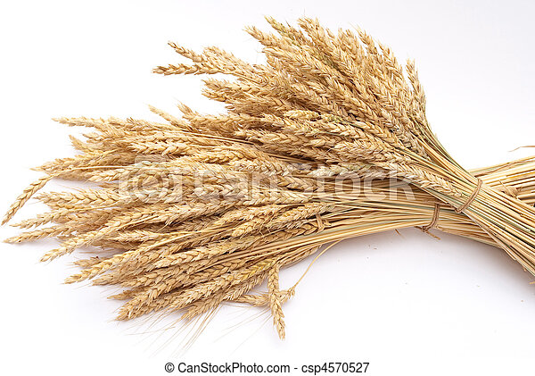 Wheat ears  - csp4570527