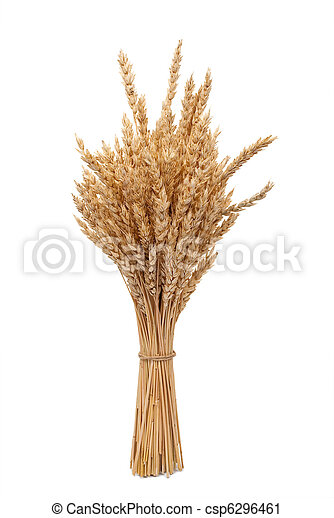 Wheat ears  - csp6296461