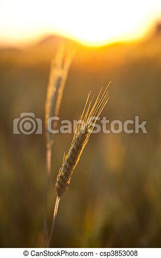 Wheat ears - csp3853008