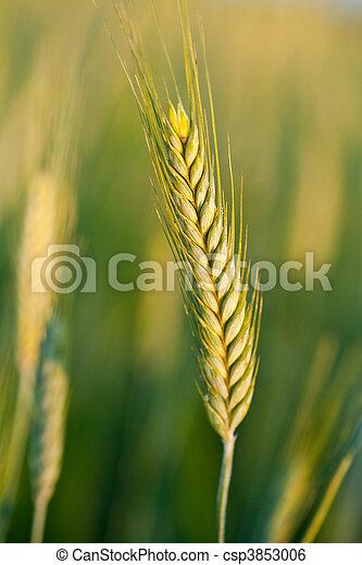 Wheat ears - csp3853006
