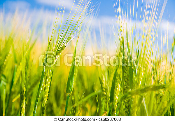 Wheat field. Agriculture - csp8287003