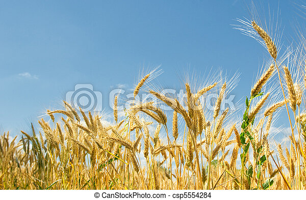Wheat field and blue sky - csp5554284