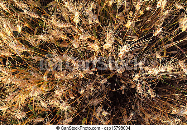 Wheat field - detail - csp15798004