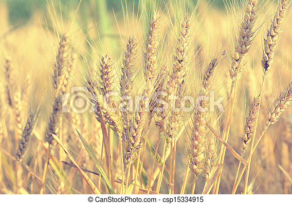 Wheat field on a sunny day - csp15334915