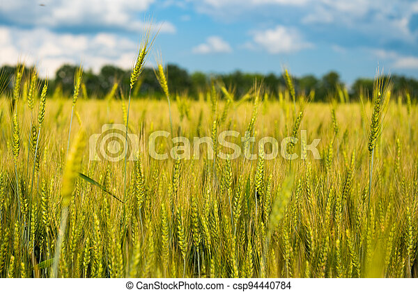 wheat field on a sunny day - csp94440784