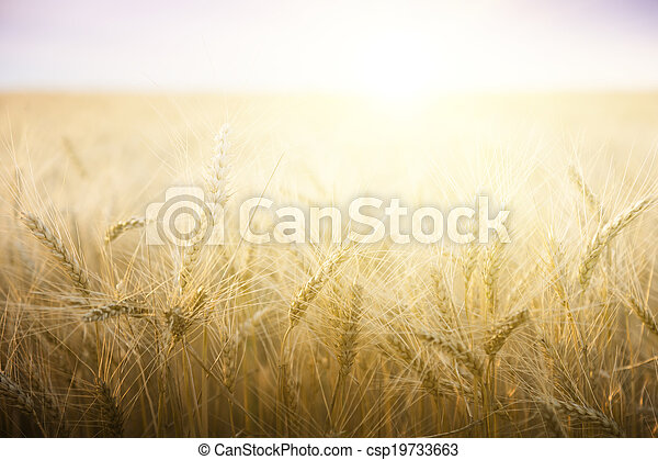 Wheat field on a Sunny day. - csp19733663
