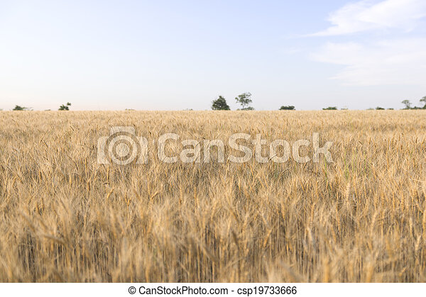 Wheat field on a Sunny day. - csp19733666