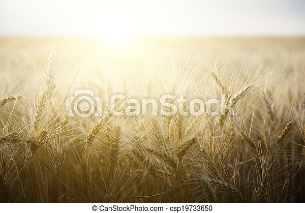 Wheat field on a Sunny day. - csp19733650