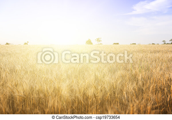 Wheat field on a Sunny day. - csp19733654
