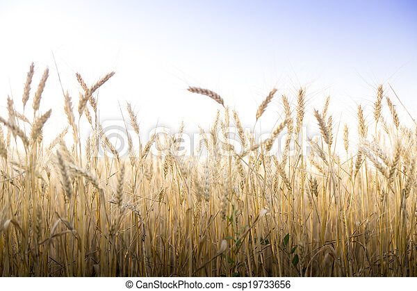 Wheat field on a Sunny day. - csp19733656