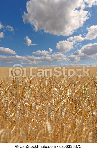 Wheat field on a sunny day - csp6338375