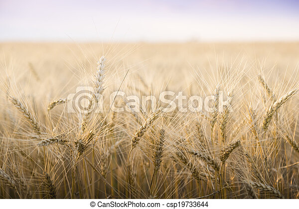 Wheat field on a Sunny day. - csp19733644