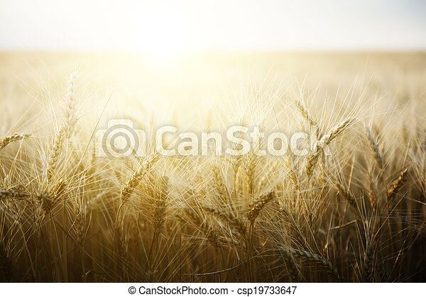 Wheat field on a Sunny day. - csp19733647