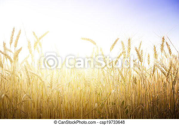 Wheat field on a Sunny day. - csp19733648