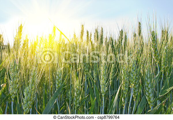 Wheat field on a sunny day - csp8799764