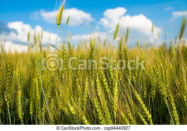 wheat field on a sunny day - csp94440927