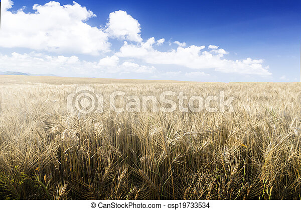 Wheat field on a Sunny day. - csp19733534