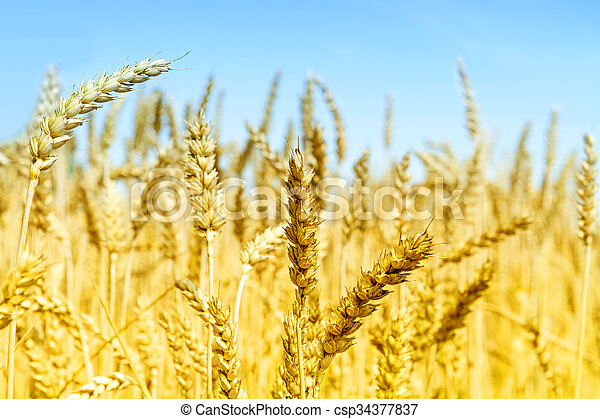 Wheat field on a sunny day. - csp34377837