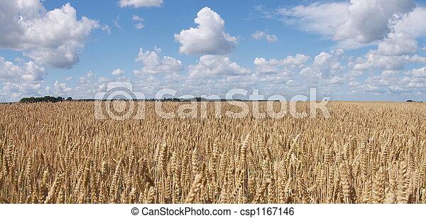 Wheat field panorama - csp1167146