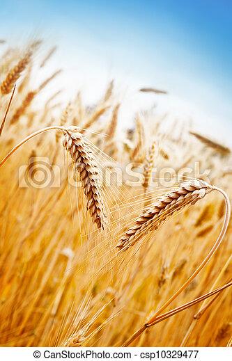 Wheat Field - csp10329477