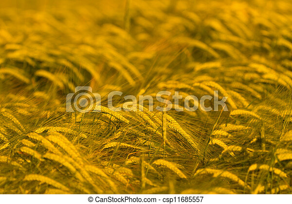 Wheat field ready for harvest - csp11685557