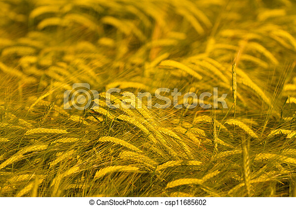 Wheat field ready for harvest - csp11685602