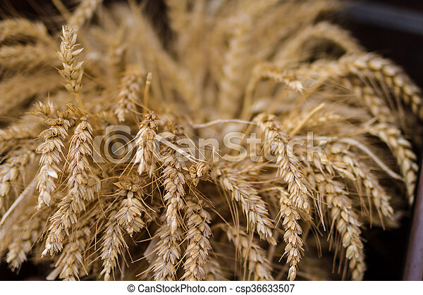 Wheat field ready for harvest - csp36633507