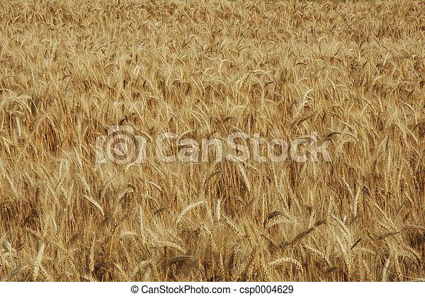 wheat field - csp0004629