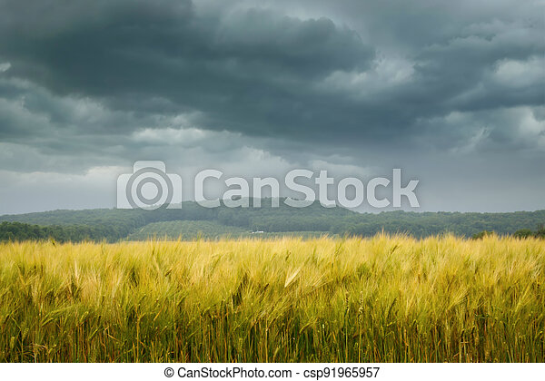 Wheat field with stormy sky - csp91965957