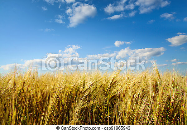Wheat field with sunny blue sky - csp91965943