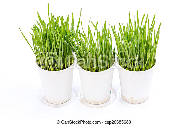 Wheat grass isolated on white background - csp20685680