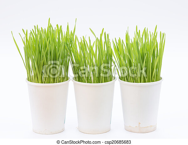 Wheat grass isolated on white background - csp20685683