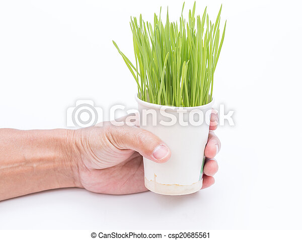 Wheat grass isolated on white background - csp20685561