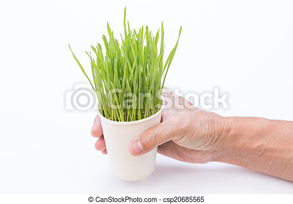 Wheat grass isolated on white background - csp20685565