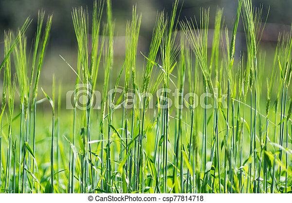 Wheat in experimental plot. - csp77814718